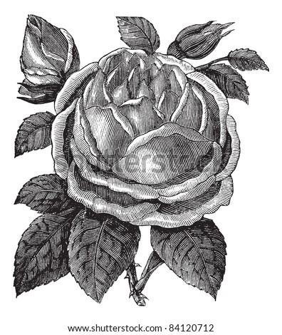Rose Hazelnut or Rosa noisettiana or Blush Noisette, vintage engraving. Old engraved illustration of Rose Hazelnut isolated on a white background. Trousset encyclopedia (1886 - 1891). - stock vector