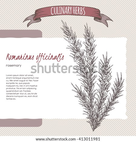 Rosmarinus officinalis aka rosemary vector hand drawn sketch. Culinary herbs collection. Great for cooking, medical, gardening design. - stock vector