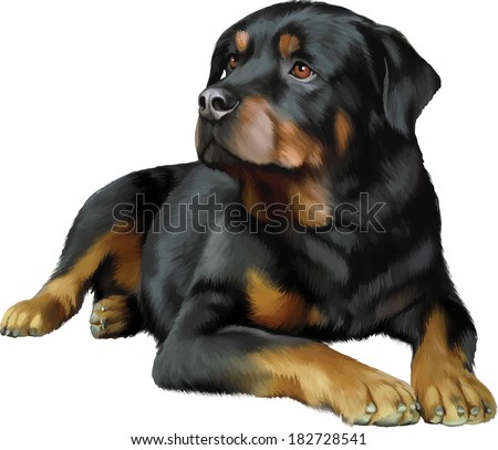 Rottweiler dog in front of a white background