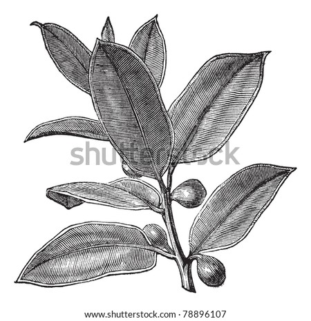 Rubber Plant or Rubber Fig or Rubber Bush or Indian Rubber Bush or Ficus elastica, vintage engraving. Old engraved illustration of a Rubber Plant showing fruits.  Trousset encyclopedia (1886 - 1891) - stock vector