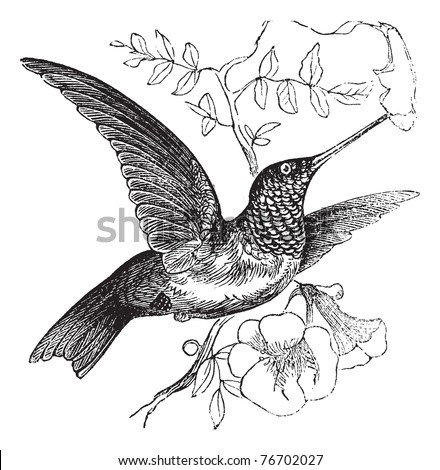 Ruby-throated Hummingbird or Archilochus colubris, vintage engraving. Old engraved illustration of a Ruby-throated Hummingbird. Trousset Encyclopedia - stock vector