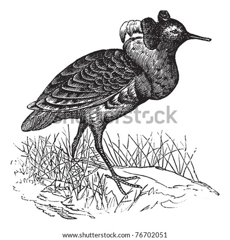 Ruff or Philomachus pugnax, vintage engraving. Old engraved illustration of a Ruff. Trousset Encyclopedia - stock vector