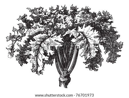 Rutabaga or Swedish Turnip or Yellow Turnip or Brassica napobrassica, vintage engraving. Old engraved illustration of a Rutabaga. Trousset Encyclopedia - stock vector