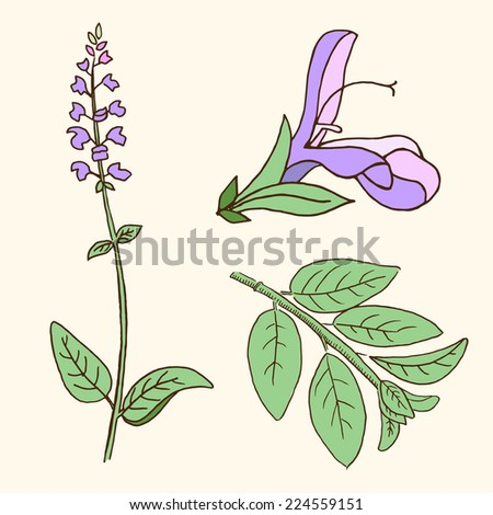 Sage, salvia, clary sage, herb, Vector illustration isolated on white background. Meadow flower. Healing herb. - stock vector