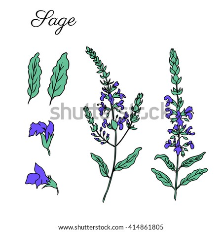 Sage vector isolated on white, Hand drawn ink sketch sage healing herbs, Set of medicinal plant perfect for card,cosmetic,store,beauty salon,natural and organic products - stock vector