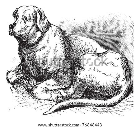 Saint Bernard or Canis lupus familiaris, vintage engraving. Old engraved illustration of a Saint Bernard. - stock vector