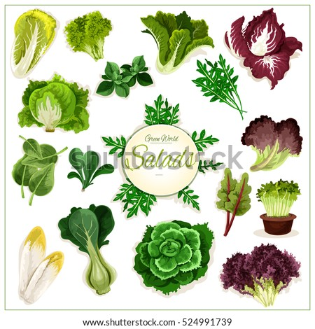 Salad Vegetables Vector Isolated Arugula Chicory Salad And Spinach Lollo Rossa Radicchio