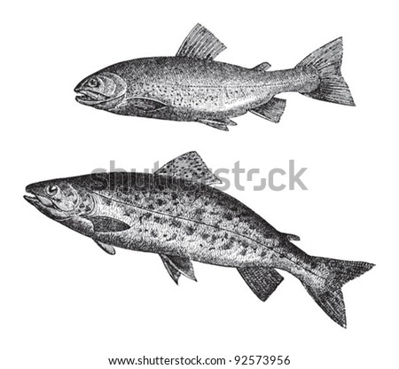 Salvelinus above and Sea trout below / vintage illustration from Meyers Konversations-Lexikon 1897 - stock vector
