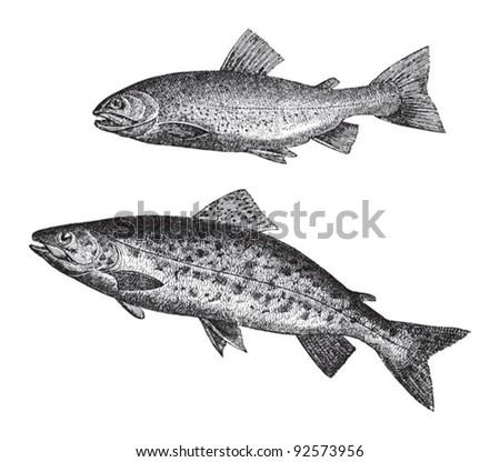Salvelinus (Salmo salvelinus) above and Sea trout (Salmo trutta trutta) below / vintage illustration from Meyers Konversations-Lexikon 1897 - stock vector