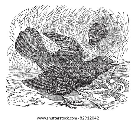 Satin Bowerbird or Ptilonorhynchus violaceus, vintage engraving. Old engraved illustration of  two Satin Bowerbird in the meadow. Trousset encyclopedia (1886 - 1891). - stock vector
