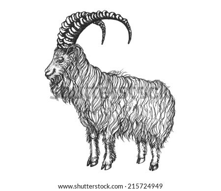 Satisfied goat look into the distance. He has big horns and long hair. Vector illustration. - stock vector