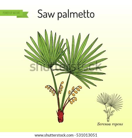 Saw Palmetto Bush