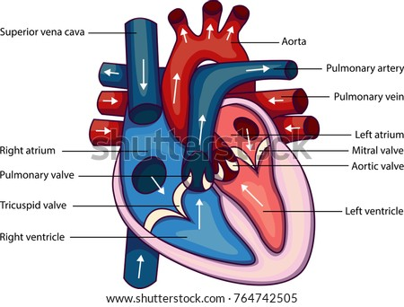 Left ventricle anatomy