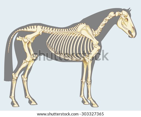 Scientific illustration: horse skeleton - Isolated on sky blue