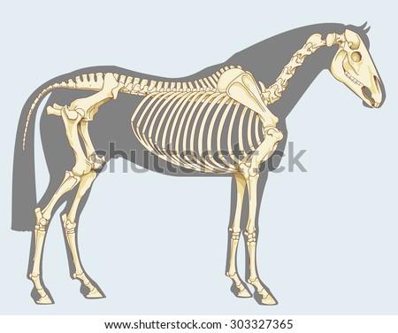 Scientific illustration: horse skeleton - Isolated on sky blue - stock vector
