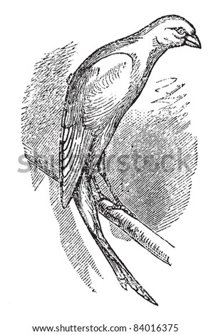 Scottish fancy canary or Scottish canary, vintage engraved illustration. Trousset encyclopedia (1886 - 1891). - stock vector