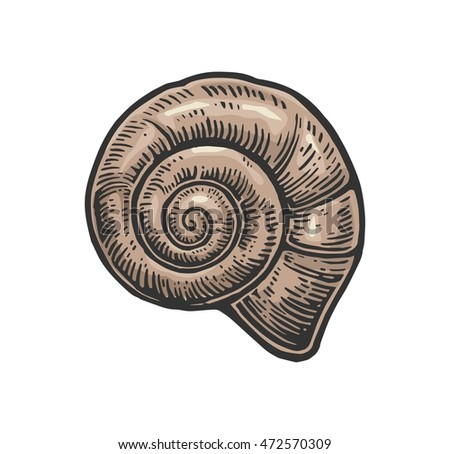 Sea shell nautilus. Color engraving vintage illustration. Isolated on white background.