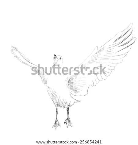 Seagull Grey pencil sketch on white background Hand drawn illustration Vector - stock vector