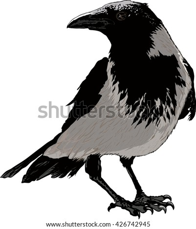 Seated black raven image detail isolated on white background