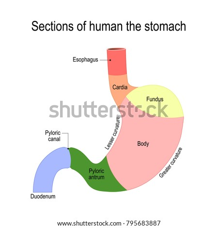 Sections stomach duodenum esophagus sphincter body stock vector sections stomach duodenum esophagus sphincter body stock vector 795683887 shutterstock ccuart Image collections