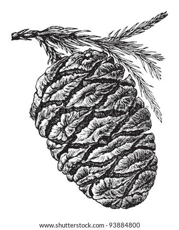 Sequoiadendron or Sierra redwood (Sequoia gigantea) / vintage illustration from Meyers Konversations-Lexikon 1897 - stock vector