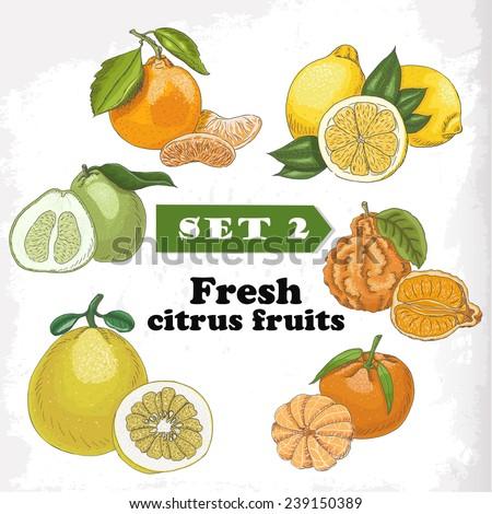 Set 2 Fresh citrus fruits of lemon, mineola, clementine, pomelo, bergamot and mandarin. Vector illustration for your design - stock vector