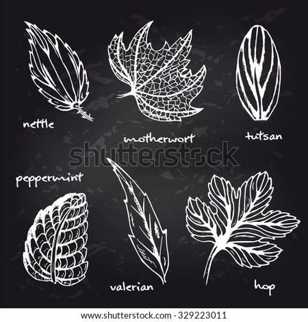 Set lief of healing herbs. Nettle, tutsan, valerian, hop, peppermint, motherwort liefs isolated. Sketch medical plants on blackboard. Hand drawn illustration for print, decoration, design, label  - stock vector