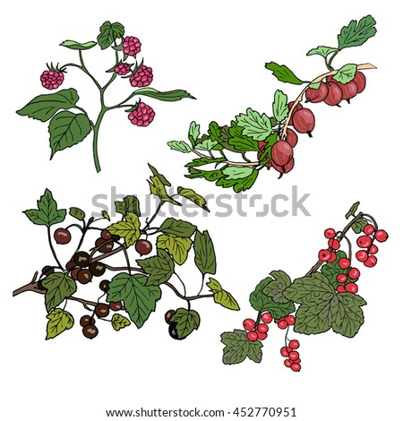 Set of berries. red currant, black currunt, raspberry, gooseberry. Hand drawn vector illustration
