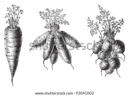 Set of carrots - vegetable / vintage illustration from Meyers Konversations-Lexikon 1897 - stock vector