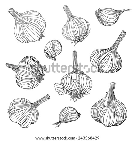 Set of different garlic bulbs. Hand drawing. - stock vector