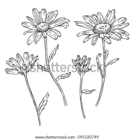 Set of drawn with ink daisies flowers. Vector illustration. Page for coloring
