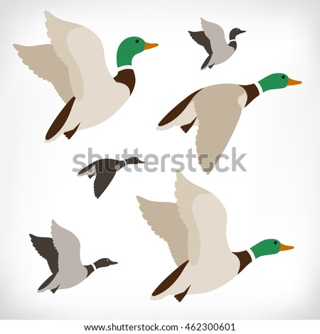 set of flying wild ducks duck hunting mallard duck flying drake vector illustration