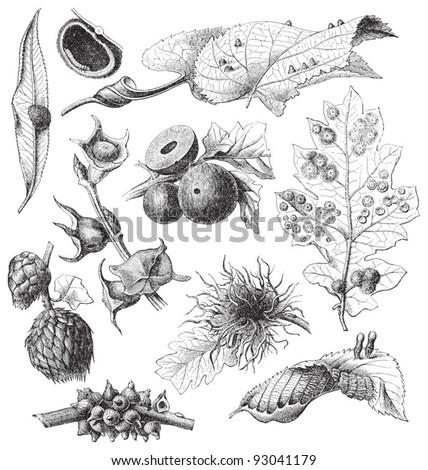 Set of galls / vintage illustration from Meyers Konversations-Lexikon 1897 - stock vector