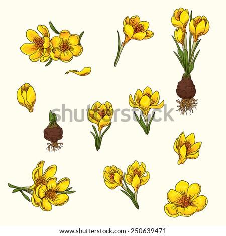 Set of hand-drawn flowers of crocus - stock vector
