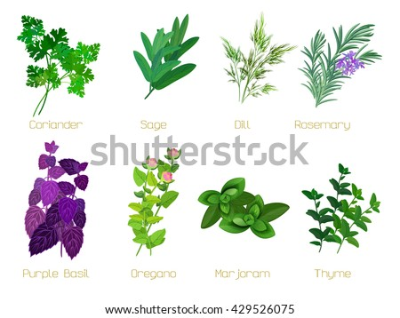 Set of herbs and spices: collection of kitchen herbs. Vector illustration. - stock vector