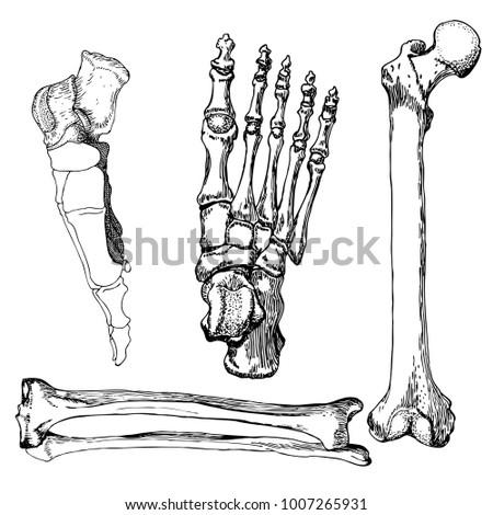 Set Human Leg Bones Foot Hand Stock Vector (Royalty Free) 1007265931 ...