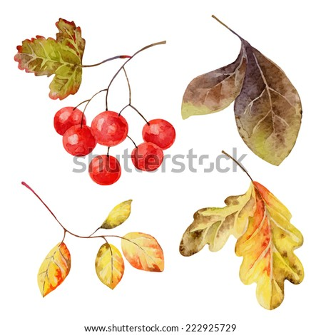Set of isolated elements of   leaves and berries. Vector illustration