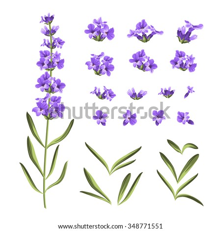 Set of lavender flowers elements. Collection of lavender flowers on a white background. Vector illustration bundle. - stock vector