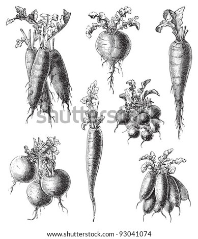 Set of radish - vegetable / vintage illustration from Meyers Konversations-Lexikon 1897 - stock vector