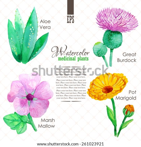 Set of watercolor madicinal plants such as great burdock, marsh mallow, aloe vera and pot marigold - stock vector