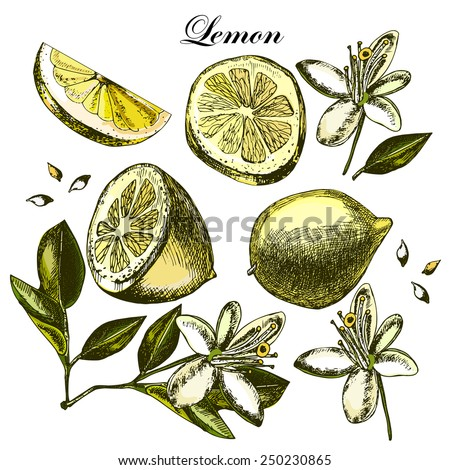 Set with fruit, flowers and leaves of lemon on a white background.  Illustrations. Vector. - stock vector