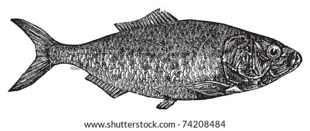 Shad, river herring  or Alosa menhaden vintage engraving.. Old engraved illustration of a shad fish, in vector, isolated against a white background. - stock vector