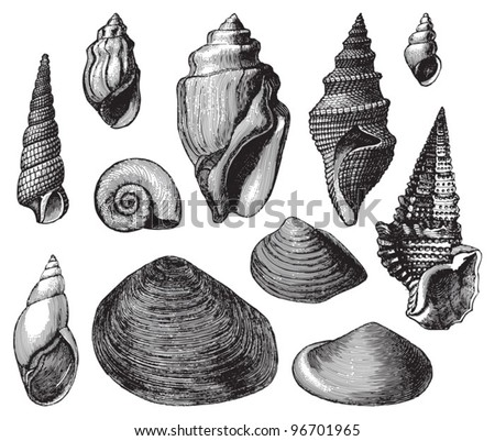 Shell fossils (Tertiary period) / Vintage illustration from Meyers Konversations-Lexikon 1897 - stock vector