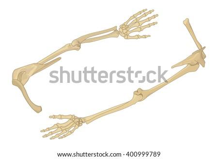 Shoulder bone flat isometric vector illustration. Arm bone 3d vector illustration. Human scapula bone isometric. Anatomical model of human hand vector flat illustration. - stock vector