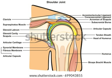 Shoulder joint human body anatomy infographic stock vector shoulder joint of human body anatomy infographic diagram with all parts including bones ligaments muscles bursa ccuart Images