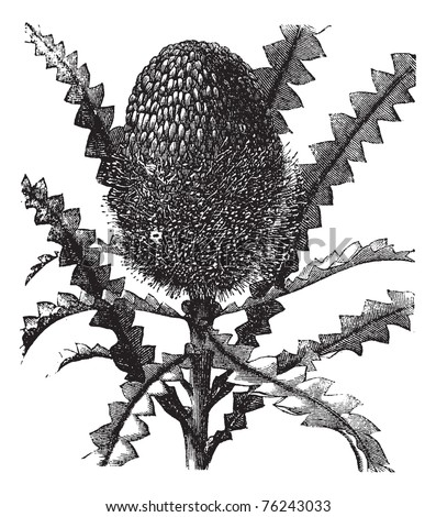 Showy Banksia or Banksia speciosa, vintage engraving. Old engraved illustration of a Showy Banksia. - stock vector