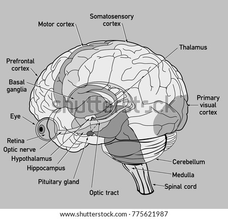 Side view diagram human brain stock vector 775621987 shutterstock ccuart Choice Image