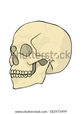 side view of a human skull with outline - stock vector