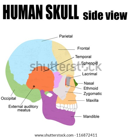 Side view of Human Skull, vector illustration (for basic medical education, for clinics & Schools) - stock vector