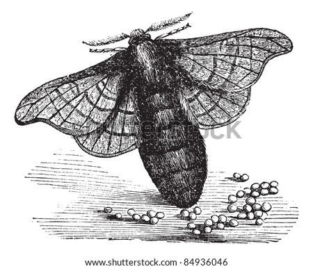 Silkmoth or Bombyx mori, showing female laying eggs, vintage engraved illustration. Trousset encyclopedia (1886 - 1891). - stock vector